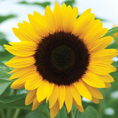 Sunflower Lanyard for Hidden Disabilities Introduced On Railway Service